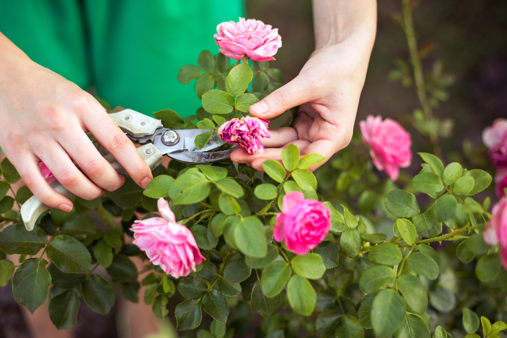 cutting back single flowering roses