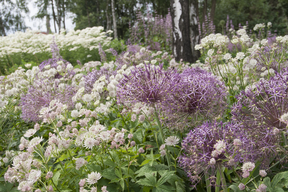 How to plant alliums