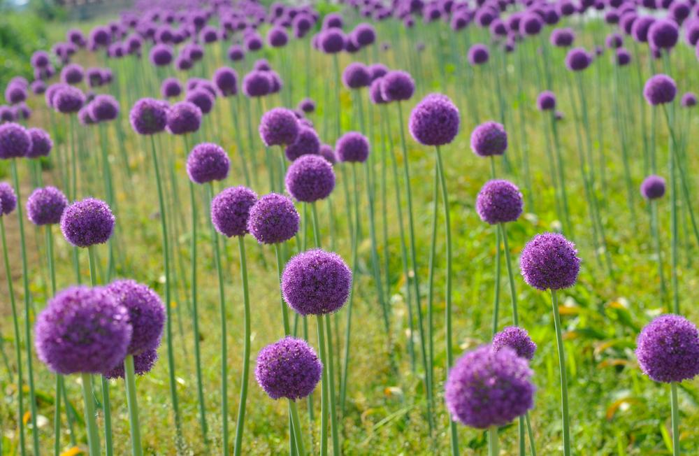 Planta de jardín Alliums