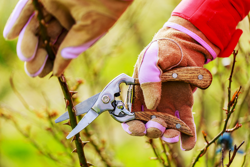 pruning a rose plant
