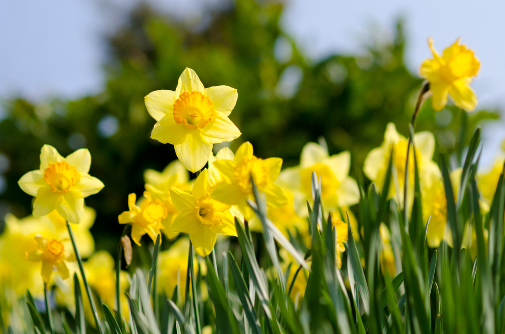 How to choose and when to plant daffodils