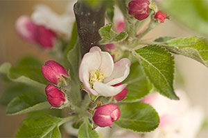 Apple blossom - Bountiful