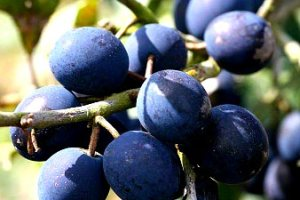 Bountiful damsons