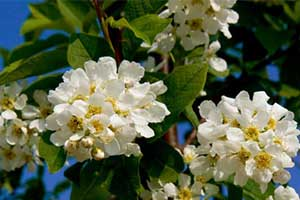 'Ornamental Cherries'
