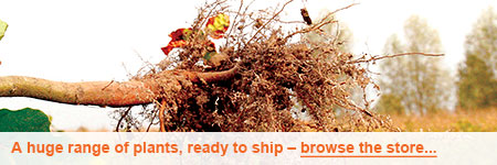 Bareroot tree ready for shipping