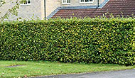 Beech hedging - a plant for all seasons
