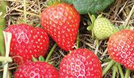 Everbearing buddy strawberry plant