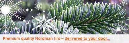No-drop Nordman fir Christmas tree