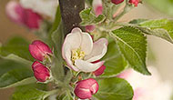 In-depth guide: Fruit tree pollination
