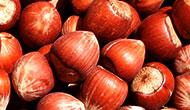 Freshly harvested hazelnuts