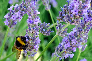 English lavender - fragrance, colour, wildlife value, and versatility