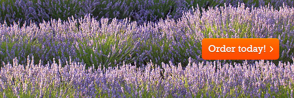 Order your English lavender today