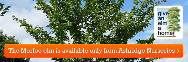 The 'Morfeo' elm - available only from Ashridge Nurseries