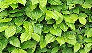 Pot-grown hedging