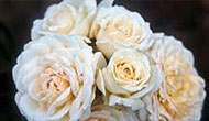 Browse our selection of roses