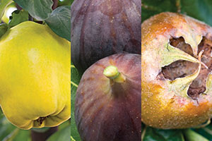 Unusual fruits - quince, fig and medlar