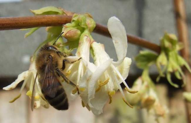 Honeybee on Viburnum