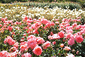 Organic care for roses