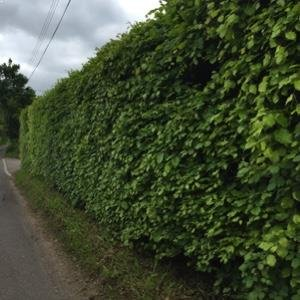 Green Beech Hedge
