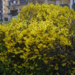 Correctly Trimmed Forsythia
