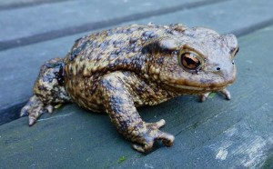 (Increasingly Un)Common Toad