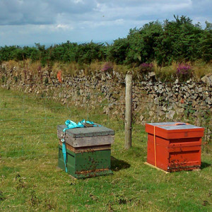 Beehives close to Exmoor heather
