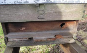 Green Woodpecker damages to hive