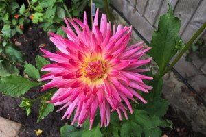Dahlia Kilburn Fiesta in July