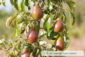 Louise-Bonne-Pears-September