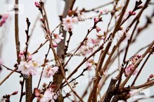 Prunus sub. Autumnalis Rosea