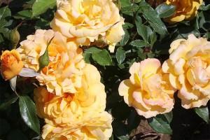 Climbing Lady Hillingdon rose