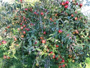 Apple Tree Pruning Courses