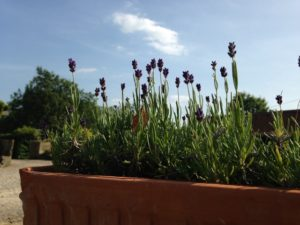 Lavender - a truly eclectic plant