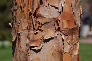 Paperbark maple for sale