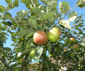 Heritage Fruit: History in the Garden
